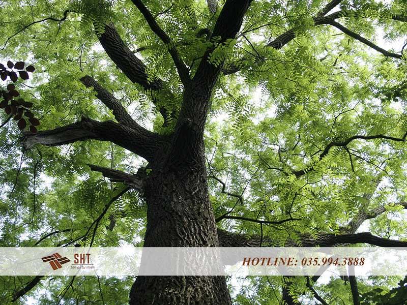cây gỗ mun